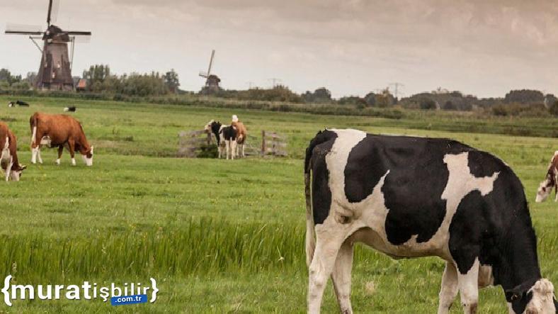 Hollanda, Çiftlik Hayvanlarının Sayısını Azaltacak