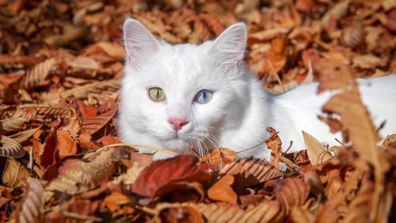 Van Kedileri Dünyanın En Agresif Kedileri Çıktı