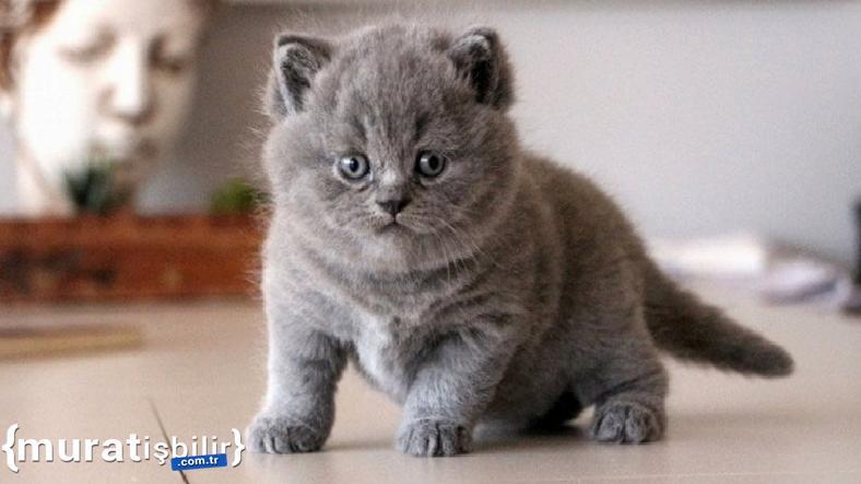 Cins Kedi mi, Tekir Kedi mi Sahiplenmek Daha Mantıklı?